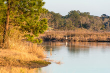 USA, Alabama, Mobile. Egret Hunts From Waters Edge Dog River