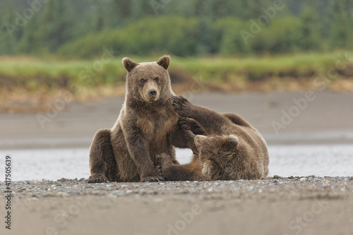 Fotografiet Brown bear cubs wrestling, Silver Salmon Creek, Lake Clark National Park, Alaska
