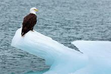 USA, Alaska, Glacier Bay National Park. Bald Eagle On Iceberg.