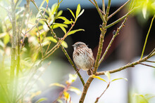 One Cute Female Sparrow Standing Between Two Branches On The Bush In The Park