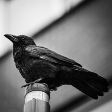 Large Raven Black Bird Perched On Post