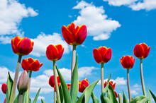 Red  Tulips Against Blue Sky With White Clouds