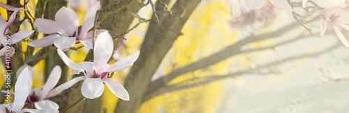 Foto Fleurs dans un magnolia en lumière naturelle, sur un fond bokeh jaune et branche
