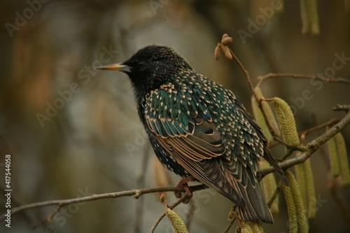 Fototapeta premium black capped kingfisher