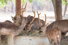 Deer Herds Eating Food.