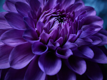 Purple Dahlia Close Up Shot In The Garden At Night