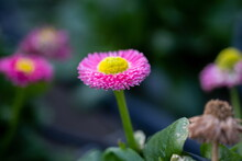 Pink Double Daisy Or Bellis Perennis Sold At The Greenhouse