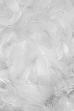 White Duck Feathers With Visible Details. Textura Or Background