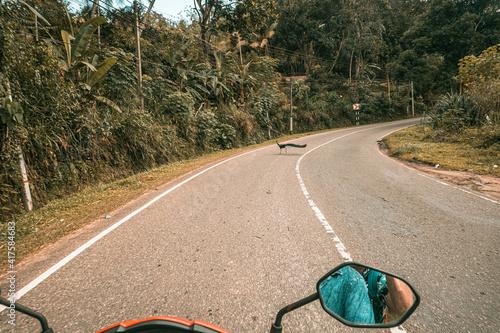 Fototapeta Paw dzikie zwierzę przebiegający przez drogę. obraz