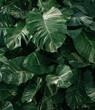 Ciemno zielone naturalne tło, tropikalne liście monstera.