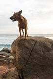 Fototapeta Zwierzęta - Dziki brązowy pies na wybrzeżu, stojący na skałach na tle oceanu.