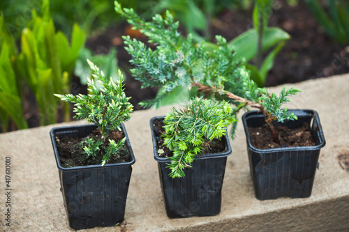 Fotografia Juniper seedlings in black pots. Gardening background photo