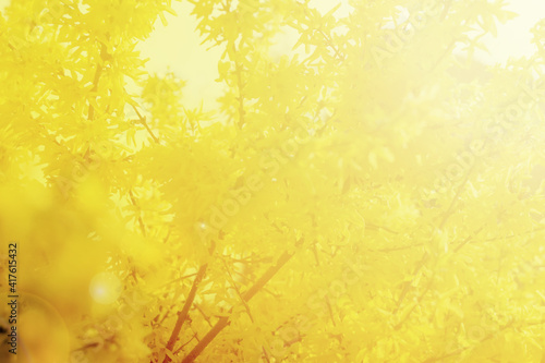 Fotografie, Obraz Yellow forsythia flowers pattern or texture in spring garden