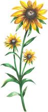 Black Eyed Susan Wildflowers Watercolor