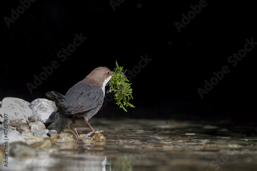 Valokuvatapetti Dipper with moss in the beak to build its nest (Cinclus cinclus)