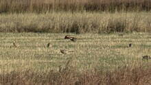 Ring-necked Pheasant Cock Hen Walking Foraging Looking For Food Fall Mowed Field