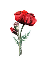 Red Poppy Flower With A Bud And A Head Of Seeds On A Stem With Green Leaves. Hand Drawn Watercolor On White Background For Design Of Cards, Wedding Invitations, Print, Background, Packaging, Textiles.
