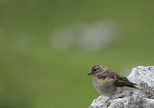Closeup Of A Brown Sparrow Perching On A Rock Against A Green Blurred  Background