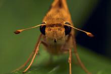 Orange Moth Head-on Perched On A Leaf
