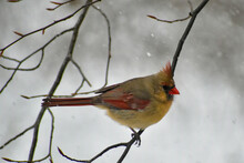 Female Northern Cardinal Perching On A Branch In The Snow