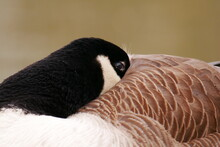 Canada Goose Sleeps With Its Head And Beak In The Plumage Branta Canadensis