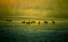 A Beautiful Misty Morning With Wild Red Deer Herd Grazing In The Meadow. Springtime Sunrise Scenery With Wild Animals In Northern Europe.