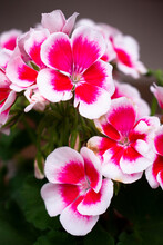 Vibrant Pelargonium Blooming Flowers ( Geraniums, Pelargoniums, Storks Bills) Flowers With Ornamental White Outlines In A Flower Pot In The Summer Or Spring Garden