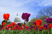 Capitol Building And Colorful Tulips - Washington D.C. United States Of America