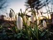 przebiśniegi, kwiaty, ogród