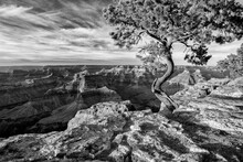 USA, Arizona, Grand Canyon National Park, Pinyon Pine Grows Cliffside At Hopi Point