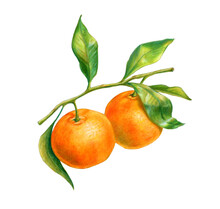 Two Tangerines On A Branch With Leaves