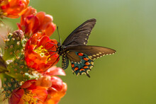USA, Arizona, Sonoran Desert. Pipevine Swallowtail Butterfly On Blossom.