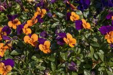Purple And Orange Pansies Close-up