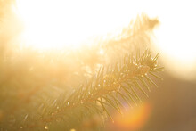 Selective Focus, Special Blur, Sunset, Branches Of A Christmas Tree Close-up, Beautiful Natural Background.