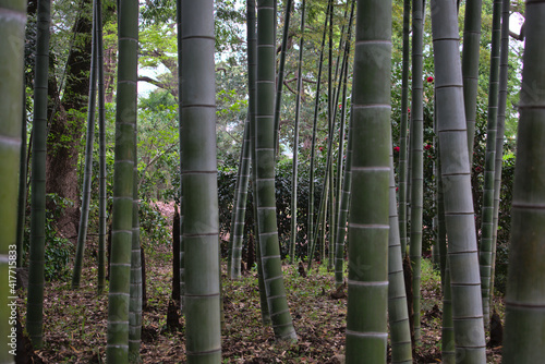 Photographie Bamboos in a park in Tokyo, Japan