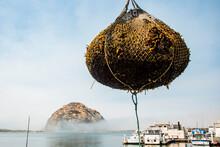 USA, California. Morro Bay, Boat At Dock Unloading Harvested Sea Kelp To Feed Farmed Abalone.