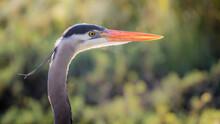 USA, California, Morro Bay State Park. Great Blue Heron Close-up.