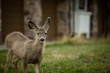 Close Up Of White-tailed Deer In Waterton National Park