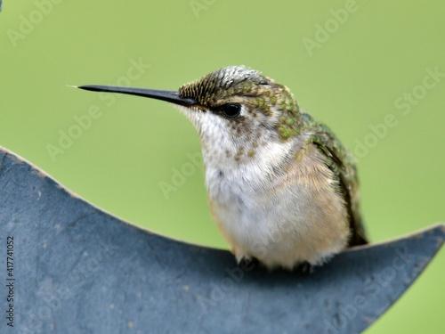 Fototapeta premium Female Ruby Throated Hummingbird sitting