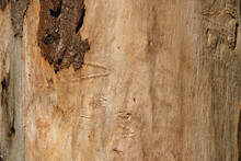 Eucalyptus Tree Trunk & Bark Texture