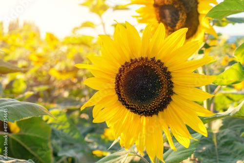 Field of Sunflower blooming in Sunflowers garden © weerayut