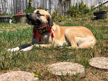 Anatolian Shepherd Dog With Turkish Collar