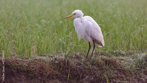 Fototapeta premium White egret bird sitting near a farmland