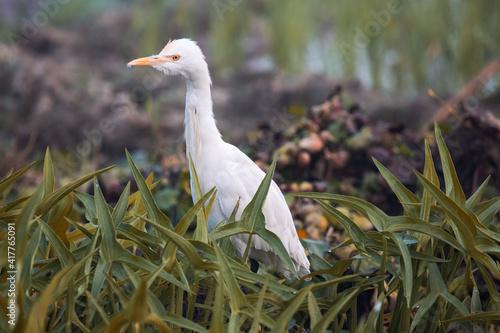 Fototapeta premium White egret bird in close up view sitting in a bush