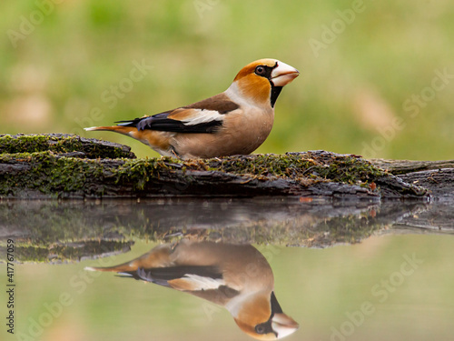 Fotografie, Obraz Hawfinches in the winter forest