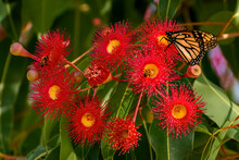 Monarch Butterfly On Red Blossoms Of The Australian Native Flowering Gum Tree Corymbia Ficifolia Wildfire Variety, Family Myrtaceae. Endemic To Stirling Ranges Near Albany, Western Australia
