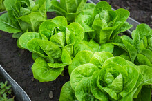 Fresh Organic Green Cos Lettuce Growing On A Natural Farm. Photosynthesis Salad Vegetables On The Soil In The Plantation. Chlorophyll Leaf Bio Concept.