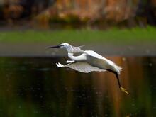 The Little Egret Fishing In Natural Habitat (egretta Garzetta)