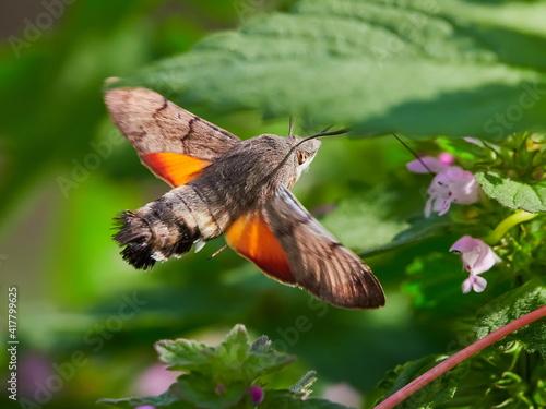 Fototapeta premium hummingbird hawk-moth hovering over flower (Macroglossum stellatarum)