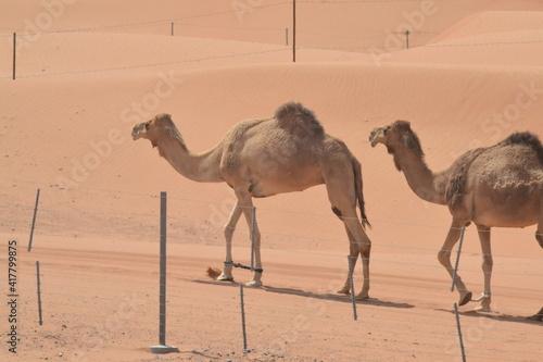camels in desert Fotobehang